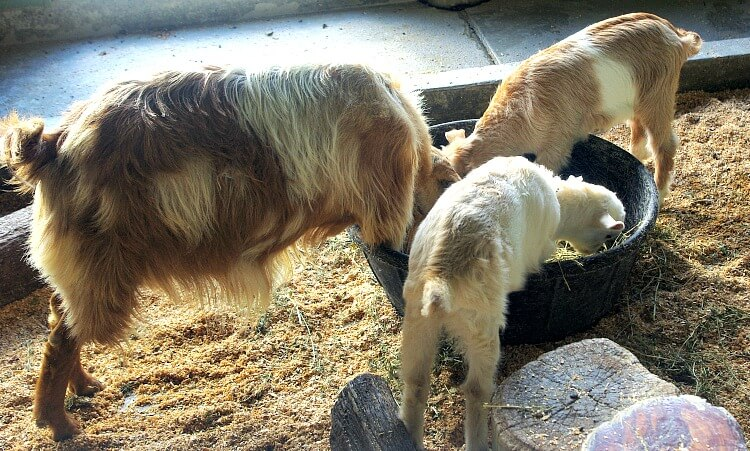 Goats in Animal Nursery