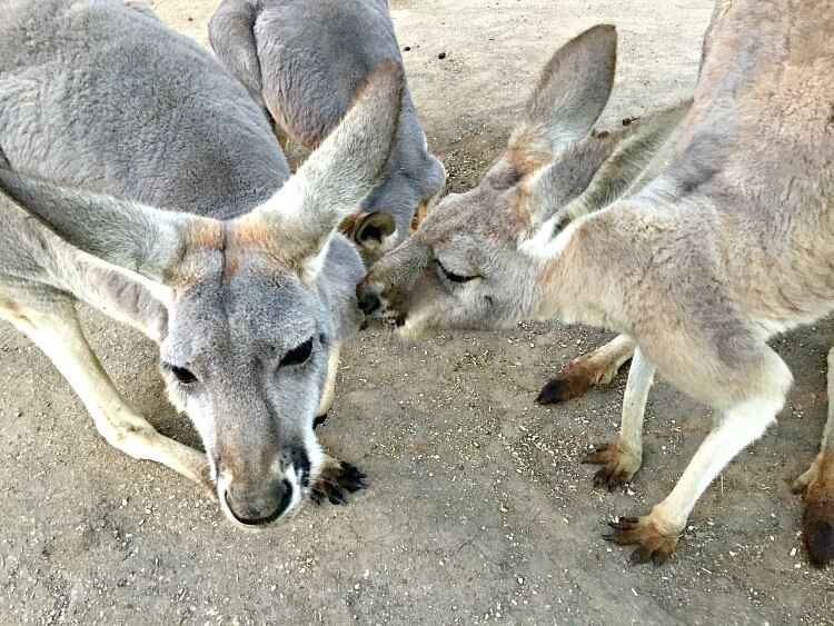 A group of three Kangaroos