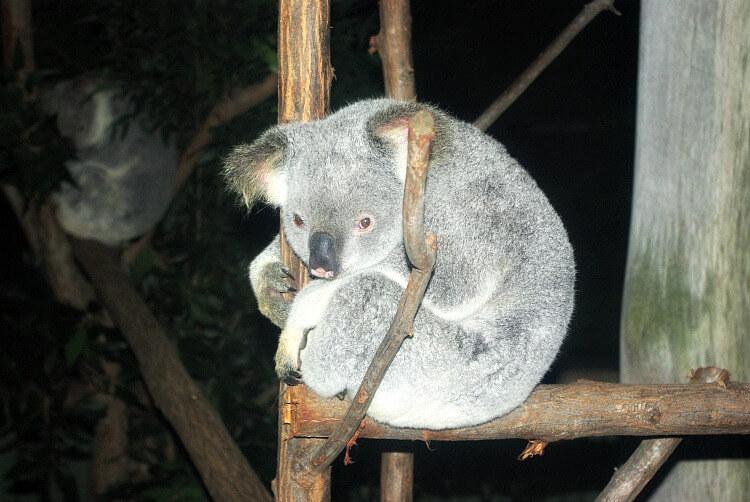 Meeting a Koala on a farm holiday