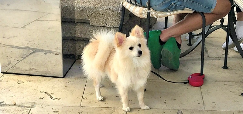 Fluffy White Dog on Lead in Dog Friendly Cafe