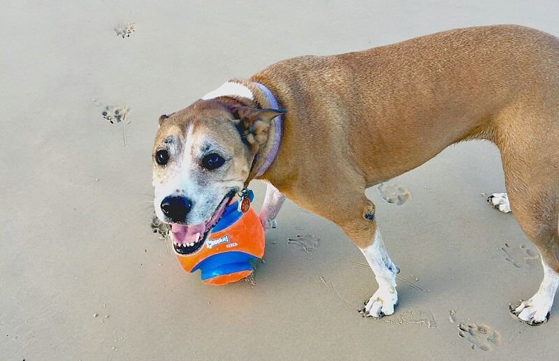 Dog with Orange and Blue Ball in Off-Leash Dog Area