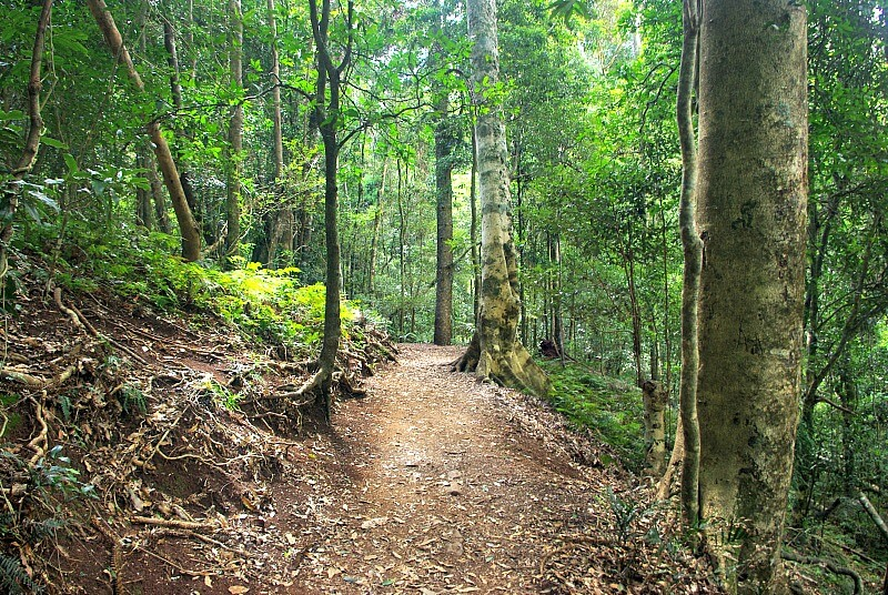 Typical Bunya Mountains Walking Track