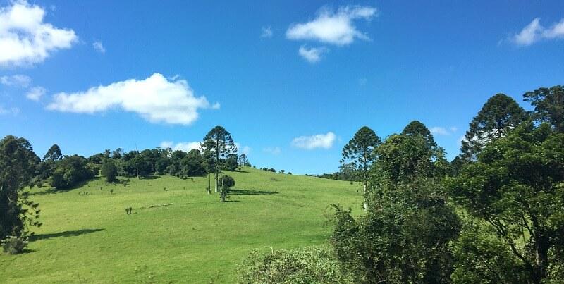 Bunya Pine Trees in an open field