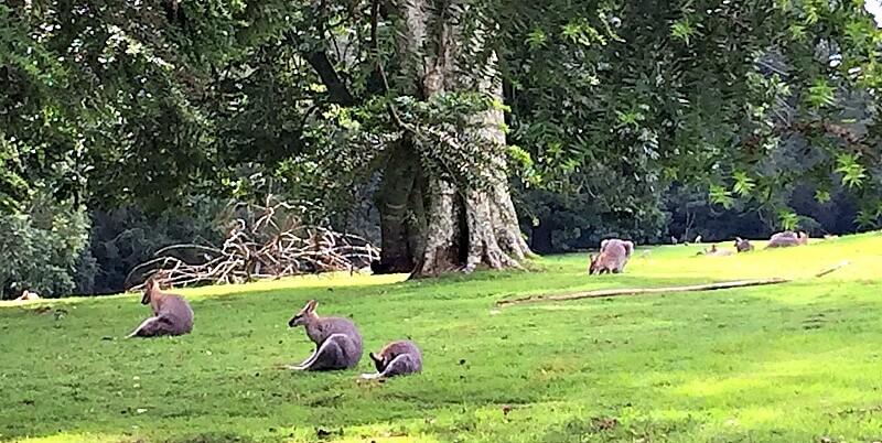 Wallabies grazing at Bunya Mountains