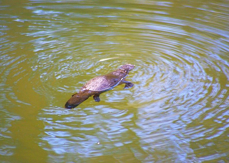 Platypus floating on top of the water Broken River Eungela Mackay