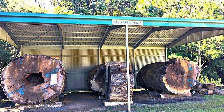 Kauri Tree Display at Millaa Millaa