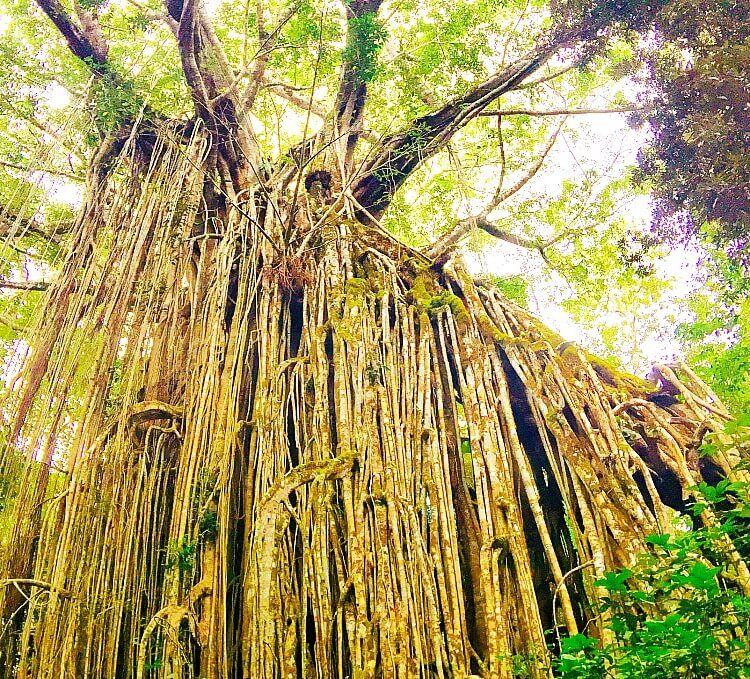 Strangling Roots of the Curtain Fig Tree