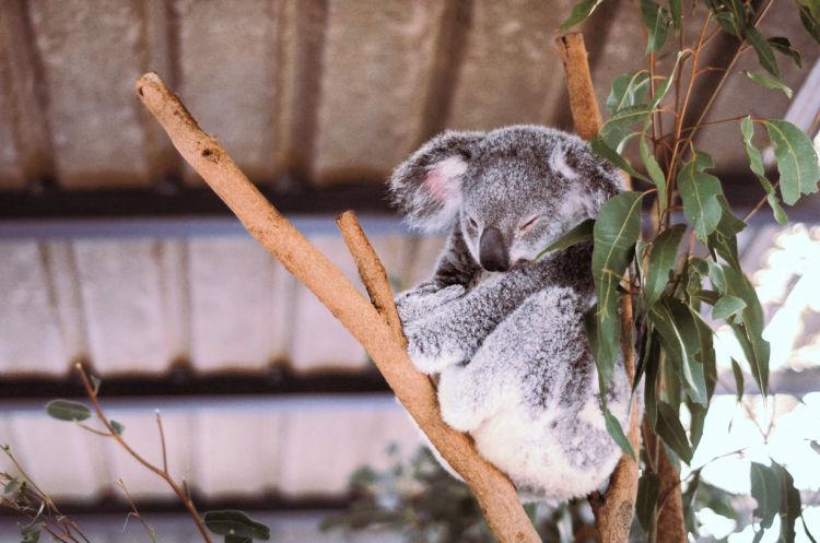 Koala in gum tree fork at Lone Pine Koala Sanctuary Brisbane