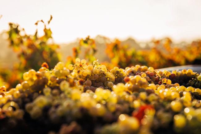 Ripe Grapes at Vineyard